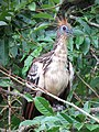 Opisthocomus hoazin Chenchena Hoatzin (6260863096).jpg