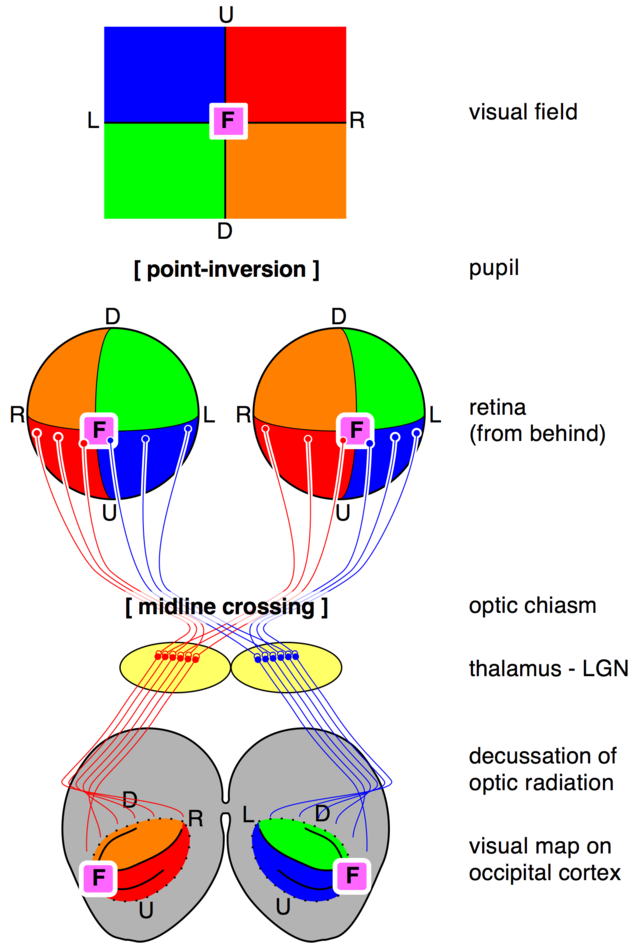 Optic Chiasm Wikiwand