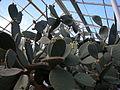 Opuntia ficus-indica 02.jpg