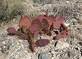Opuntia phaeacantha 9.jpg