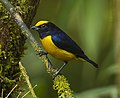 Orange-bellied Euphonia - Ecuador S4E5535 (22621854444).jpg