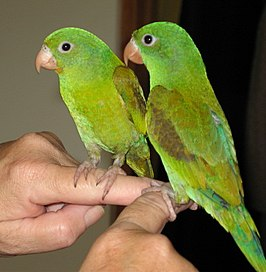 Orange-chinned Parakeet (Brotogeris jugularis)10c1.jpg