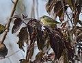 Orange-crowned Warbler (44754131305).jpg