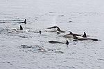 Orca Pod Gerlache Channel Antarctica 2 (47284502042).jpg