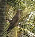 Oriental Honey Buzzard seen perched in a coconut tree near kanva reservoir.jpg