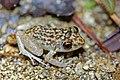 Oriente Mottled Frog (Eleutherodactylus simulans) (8571332655).jpg