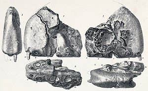Ornithocheirus - Lithograph of the holotype, showing a tooth which perhaps did not belong with the specimen, and is now lost
