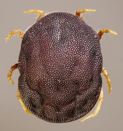 Ornithodoros adult soft-tick.jpg
