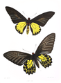 OrnithopteraAeacus 148.png