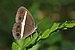 Orsotriaena medus mandata-Kadavoor-2016-02-06-001.jpg