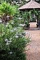 Orthosiphon aristatus IMG 8804.jpg