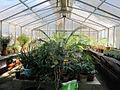 Orto botanico, fi, serretta felci (cicadee) 04.JPG