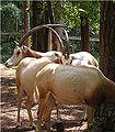 Oryx dammah 1.jpg