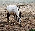 Oryx leucoryx Dvur zoo 1.jpg