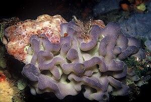Homoscleromorpha - Oscarella lobularis