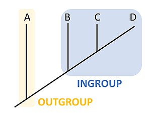 Outgroup (cladistics) - A simple cladogram showing the evolutionary relationships between four species: A, B, C, and D. Here, Species A is the outgroup, and Species B, C, and D form the ingroup.