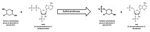 Carbohydrate sulfotransferase - Figure 1: A general carbohydrate sulfotransferase reaction. PAPS is shown as the activated sulfate donor; PAPS is the sulfate donor in eukaryotic cells.