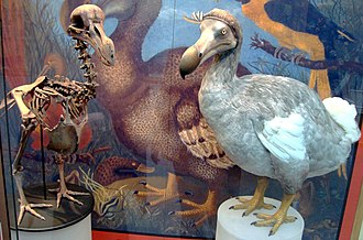 Dodo - Dodo skeleton cast and model based on modern research, at Oxford University Museum of Natural History