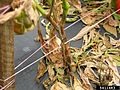 P. capsici blight on sweet pepper.jpg