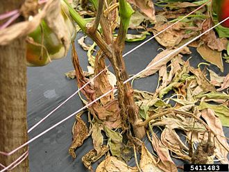 Phytophthora capsici - P. capsici blight on lower stem of a bell pepper plant.