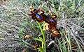 P1090528-24x15-Ophrys speculum (41115150050).jpg
