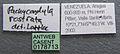 Pachycondyla rostrata casent0178713 label 1.jpg