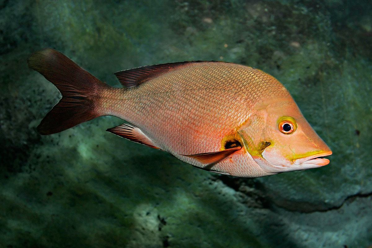 Lutjanidae wikipedia for Red snapper fish