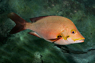 Lutjanidae family of fishes