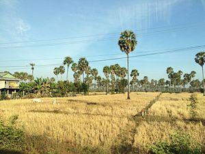 Kampong Chhnang Province - Rice field in Kampong Chhnang