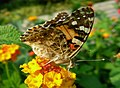 Painted Lady butterfly (Vanessa cardui) (16798696735).jpg