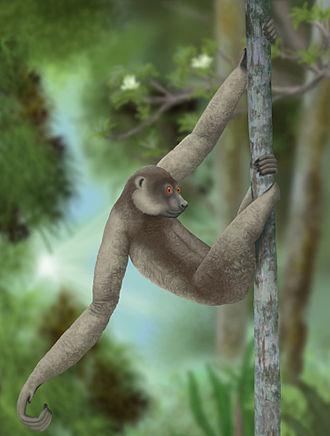 Subfossil lemur - Palaeopropithecus ingens, an extinct species of sloth lemur