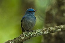 Pale Blue-Flycatcher - Bhutan S4E0680 (18704121663).jpg