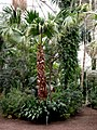 Palm house (Schönbrunn) 'Sisi' palm tree's successor 20080212.jpg