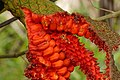 Palma Iraca (Carludovica palmata) - Flickr - Alejandro Bayer (1).jpg
