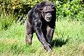 Pan troglodytes in Blair Drummond Safari Park.JPG