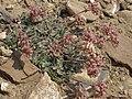 Panamint sulphurflower, Eriogonum umbellatum var. versicolor (26998848206).jpg