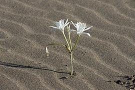 Pancratium maritimum - Sea Daffodil 12.jpg