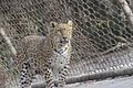 Panthera pardus in National Zoological Park, Delhi - Fighter is Fighter.jpg
