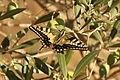 Papallona reina Papilio machaon sobre una olivera.JPG