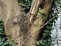 Parakeet outside its nest (Hampstead Heath).jpg