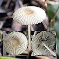 Parasola lactea (A.H. Sm.) Redhead, Vilgalys & Hopple 720349.jpg