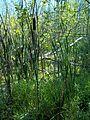 Parc-nature du Bois-de-l-ile-Bizard 51.jpg