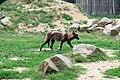 ParcAuxois-CanisLupusOccidentalis-5.jpg