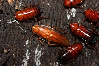 <i>Parcoblatta lata</i> species of insect