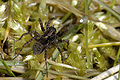 Pardosa.sphagnicola.-.lindsey.jpg