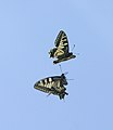 Pareja mariposas rey en vuelo 01- couple of Swallowtails - Papilio machaon (433902464).jpg
