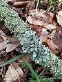 Parmelia sulcata 116778856.jpg