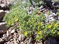 Paronychia sessiliflora (7352579940).jpg