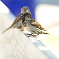 Passer domesticus -Norway -two on fence-8.jpg