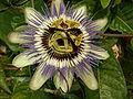 Passiflora caerulea 02.jpg